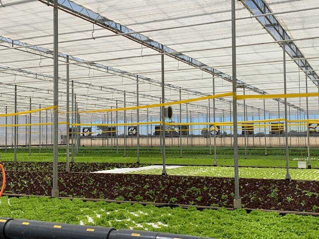 hydroponic lettuces germinated under LED lighting