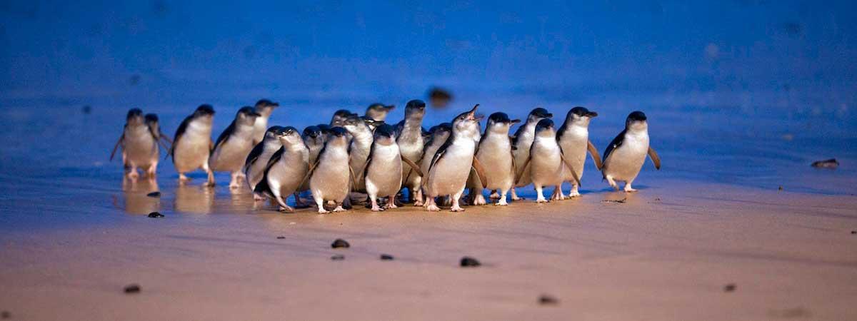 Penguins at Phillip Island Nature Park