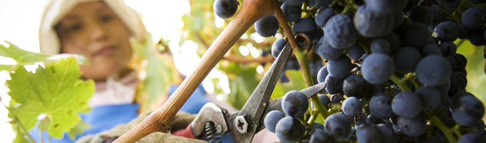Woman picking grapes at Wild Dog Winery, Warragul