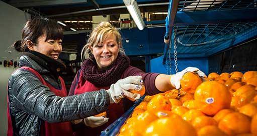 Women packing fruit at the Mildura Fruit Company
